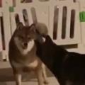 2匹のイヌが見合っていた。何か争っているのかな? → 2匹の犬はこうなった…