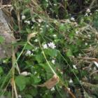 『【植物】水際の白い花はなんだ?【写真あり】』の画像