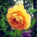 『2番花のゴールデン・セレブレーション♪』の画像