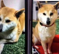 【見つかりました!】浜松市浜北区で柴犬が行方不明とのこと、飛龍大橋のあたりの近隣の方で見かけたらご連絡のご協力を!【迷子犬情報】