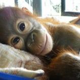 『蓋然性:ラハユ:目の見えないオランウータンの赤ちゃん救出』の画像