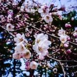 『Cherry Blossom』の画像
