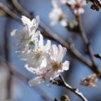 比々多神社 十月桜