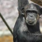 チンパンジーにも「調理」の概念、料理の起源に光