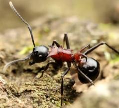 樹液と甘露を収穫するトゲアリ