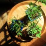 ボンサイ・マムのはじめてでも簡単!おしゃれミニ盆栽の作りかた