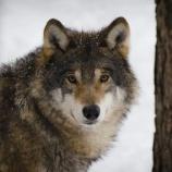 『スロベニアのオオカミたちを助けて』の画像