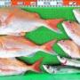 タイラバでロクマル&ゴーマル真鯛!サバも!