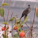 秋の味覚・・柿食うヒヨドリ