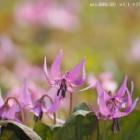 『投稿:BORG対物レンズ3種+スリムフラットナー1.1×による春の花 2021/04/18』の画像