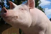 家畜豚を育てるとこんななるんやなwww