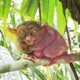 『「和敬静寂」世界で二番目に小さな猿フィリピンメガネザル』の画像