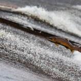 『「鮭の一生」と「ロマンスの神様」』の画像