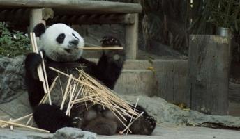 竹、なぜ主食?「パンダ百万年の謎」解明