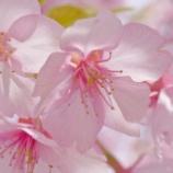 『【写真】早めの桜と、梅。 (RX1)』の画像