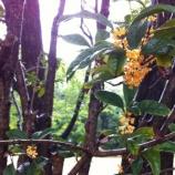 『戸田市の木・モクセイ(きんもくせい)が花盛り!』の画像