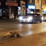 『車に轢かれたアライグマ』の画像