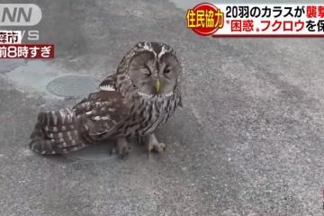 【悲報】フクロウ、カラスにイジメられる