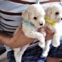 【トイプードルパピー犬成長記録5】生後1カ月♪感動の対面♡画像たっぷりお届け♡