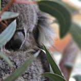 『「捨身飼虎」とコアラの大量安楽死』の画像
