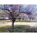『梅の花も満開』の画像