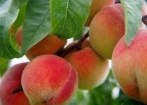 桃とかいう果物界の王者