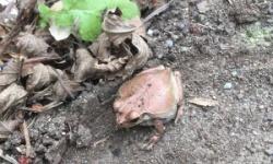 【画像】可愛いカエル見つけたんやが、こいつ珍しくない?