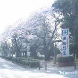 『【綾瀬市シリーズ】光綾公園の桜』の画像
