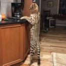 これは目撃した方もびっくり。ペットのサーバルキャットが家を逃走。3日後に無事飼い主のもとへ(アメリカ)