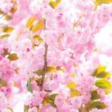 『近所の八重桜Double cherry blossoms in the neighborhood.』の画像