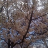 『桜に思う』の画像