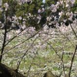 『国東の食環境(171)梨の花(2)』の画像