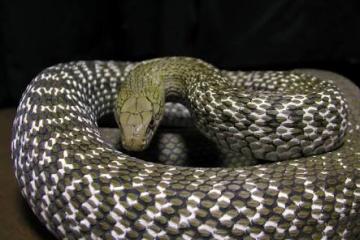日本のヘビのネーミングセンスwwww アオダイショウとかヒバカリとかアカマダラとか・・・