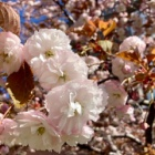 『忘れ時の八重桜』の画像