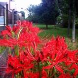 『彼岸花が咲くみち・戸田市「まんようの花のみち」』の画像