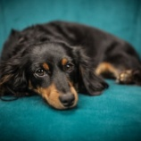 『犬の椎間板ヘルニアと膵炎の関係』の画像
