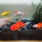 『10匹の金魚ヽ(・∀・)ノ』の画像