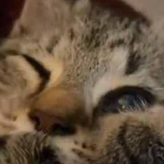 子ネコは吸い始めたら止まらない。ちゅうちゅうちゅう♪ → 自分の肉球、おしゃぶりです…