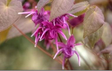 『イカリソウが、咲き出してきました。』の画像
