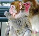 【画像】 生後8か月でしわだらけ、早老症サル発見…京大