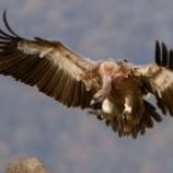 『巻き添え:ついでに殺される絶滅危機のハゲワシ』の画像