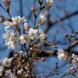 『R1で偵察する2011の桜』の画像