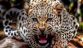 【動物園に行く暇ないから動物画像】ヒョウとジャガーの画像をランダムに貼ってく