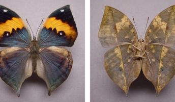【進化生物学】コノハチョウ擬態の謎、解明か