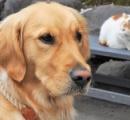 有名な「猫寺」に大型犬(アンディー)、猫の中でのんびり 「仏の教えのよう」/越前市・御誕生寺