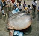 見た目はマンボウ、謎の「世界一重い硬骨魚」漁獲されたのは「千葉」