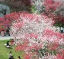 「自分の目で本物の桜を見たい」訪日外国人の数、4月が夏場を逆転 要因はSAKURA、HANAMI