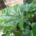 『日陰の庭を飾る丈夫なヤツデ【育て方・増やし方・手入れの仕方】』の画像