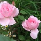 『【ピノ子日記】雨が降る前にバラを摘んで・・・』の画像
