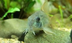 コリドラスとかいうクソ可愛い魚